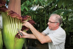 ouis Ricciardiello cuts open the base of a corpse flower to reveal the real flowers, which, if pollinated, will produce red fruit with soft seeds that are only viable for a short time. Photo: John Soares