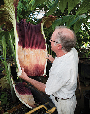 Louis Ricciardiello cuts open the base of a corpse flower to reveal the real flowers, which, if pollinated, will produce red fruit with soft seeds that are only viable for a short time. Photo: John Soares