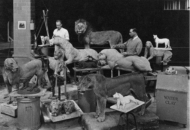 "Creating mounts in Akeley's style for AMNH's ""African Lions,"" 1934"