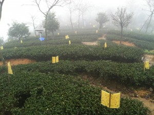 Organic tea garden management. Photo credit: Selena Ahmed