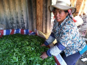 Tea farmer processing fresh harvested tea leaf in Yunnan Province of China. Photo credit: Selena Ahmed