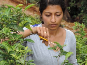 Co-PI Selena Ahmed Sampling Tea During the East Asian Monsoon