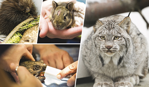 A few recent patients of the Wildlife Clinic, clockwise from top left: a young porcupine, a baby rabbit, a lynx and a snapping turtle.