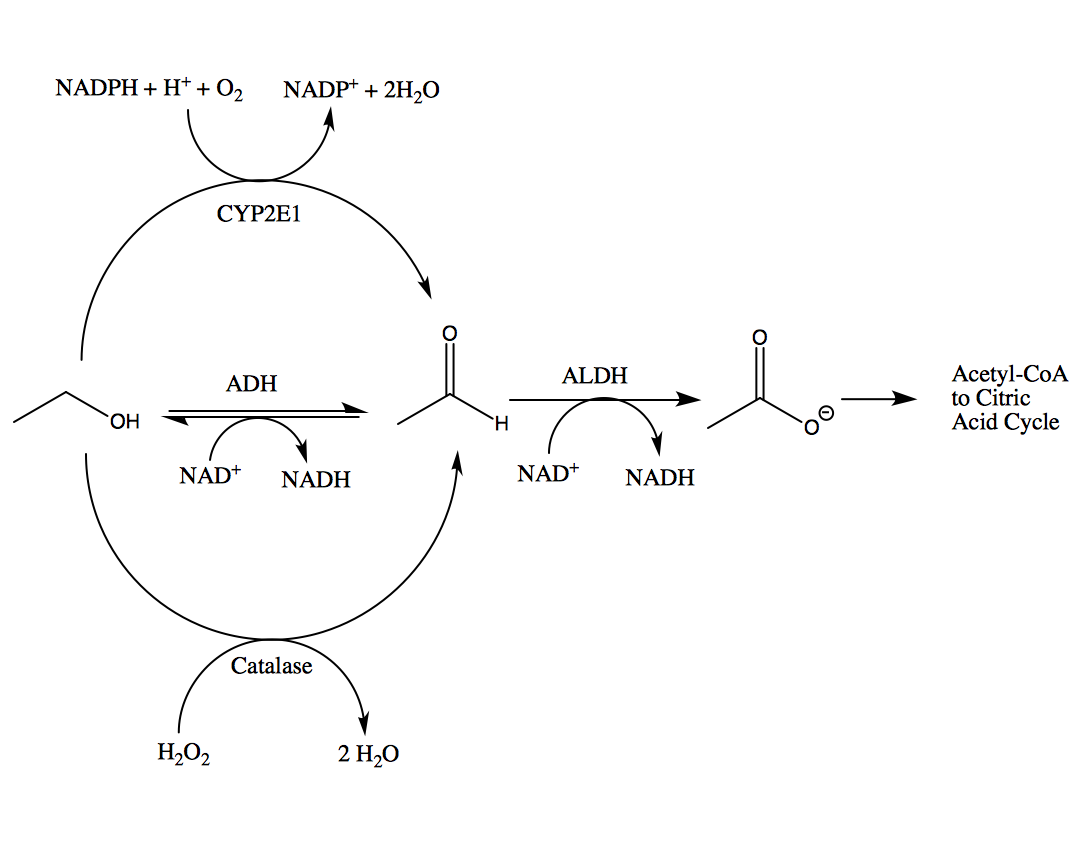 biosynthesis of ethanol from sucrose essay At bla-bla-writingcom you will find a wide variety of top-notch essay and term paper samples on any possible topics absolutely for free.