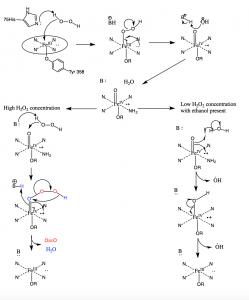 Catalase Mechanism