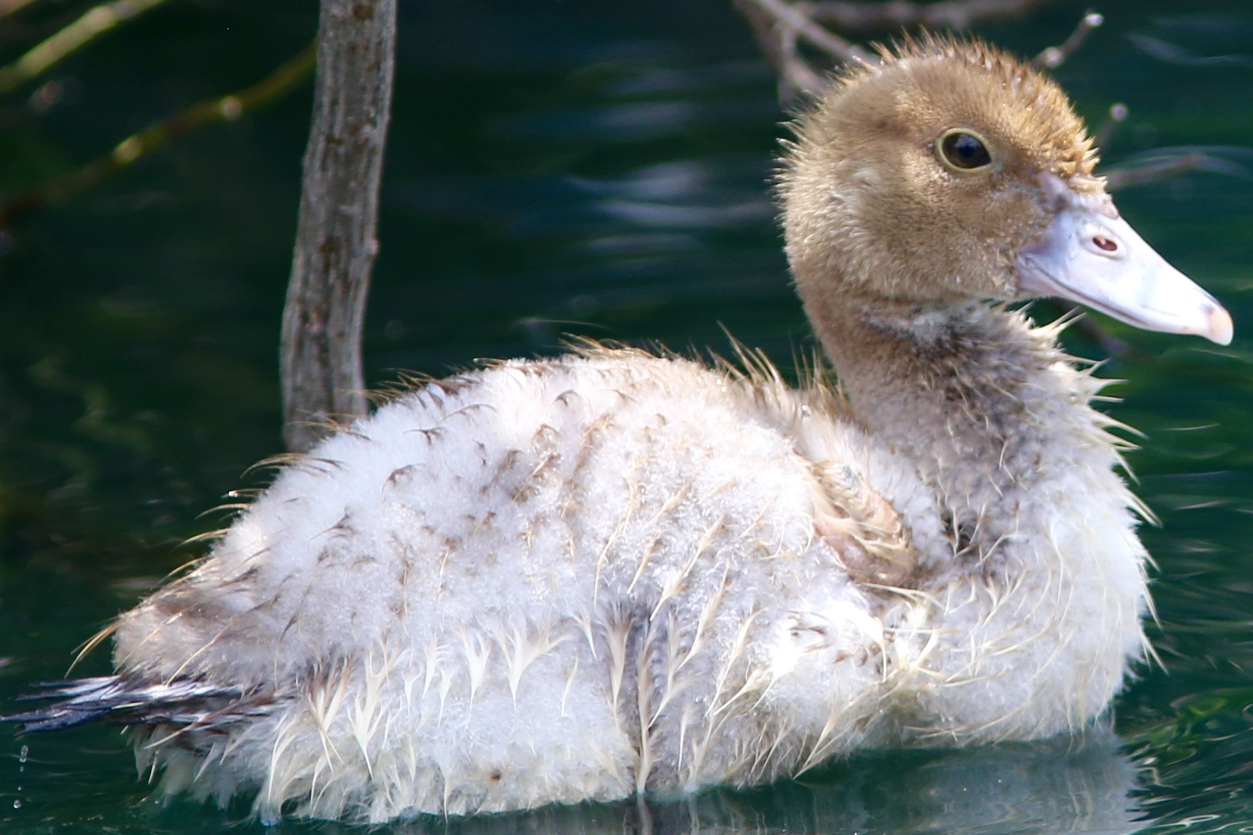 Muscovy Duck |