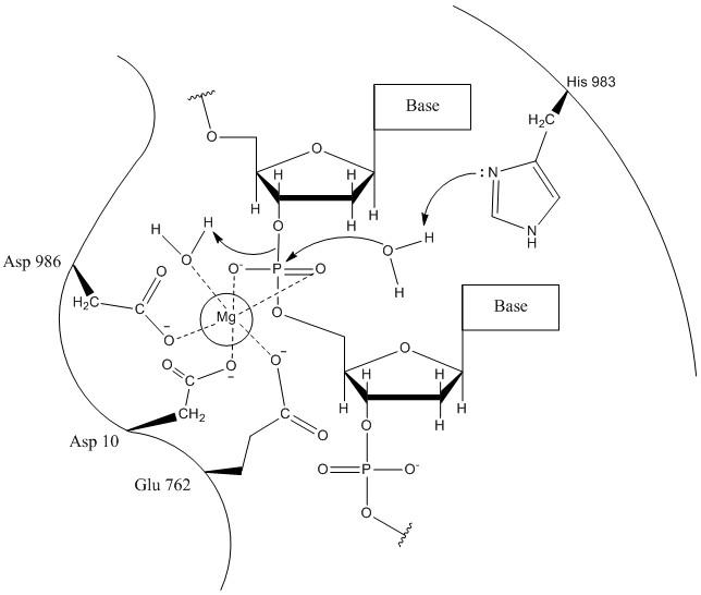 RuvC mechanism 1