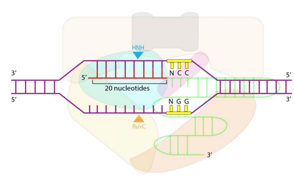 Figure 2: Cas9 cleaves DNA at a site specified by the protospacer adjacent motif (NGG) and the 20 nucleotide guide RNA complementary strand. (original figure)