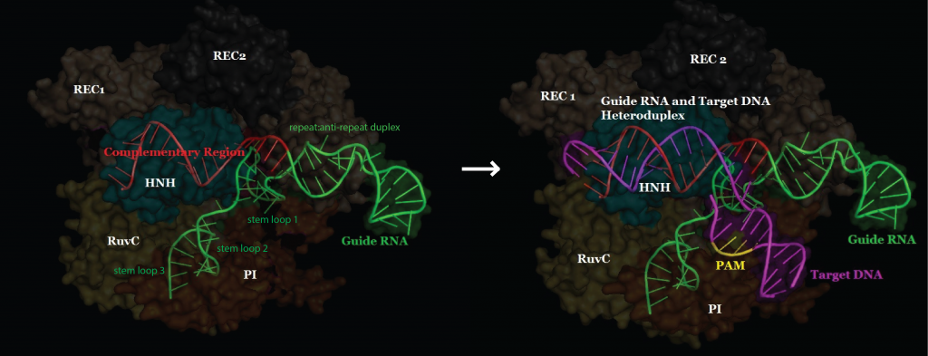 target DNA binding overview