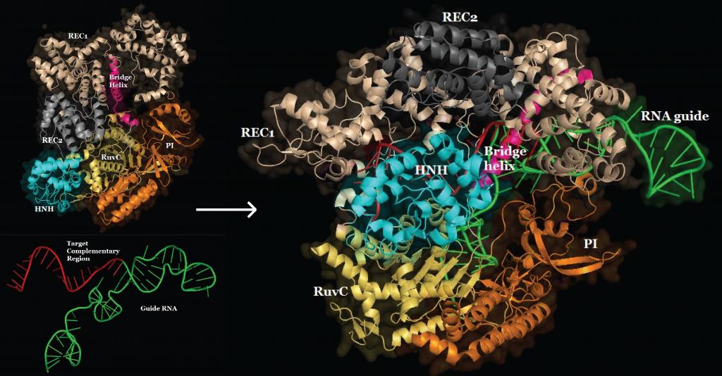 Guide RNA binding