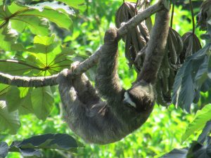 A Costa Rican sloth
