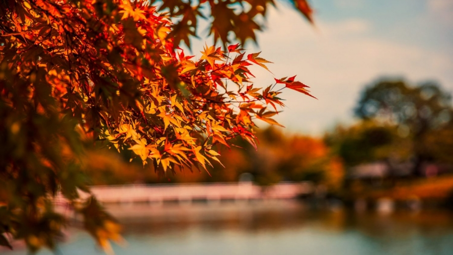 Red leaves on a tree with pond in the background