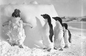 Frozen penguins after a blizzard