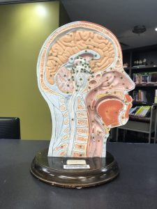 Anatomical model with cross section of head