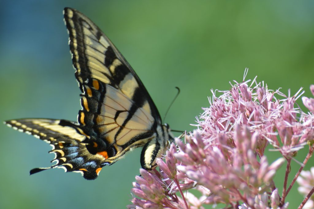 Swallowtail on Joe-Pye weed