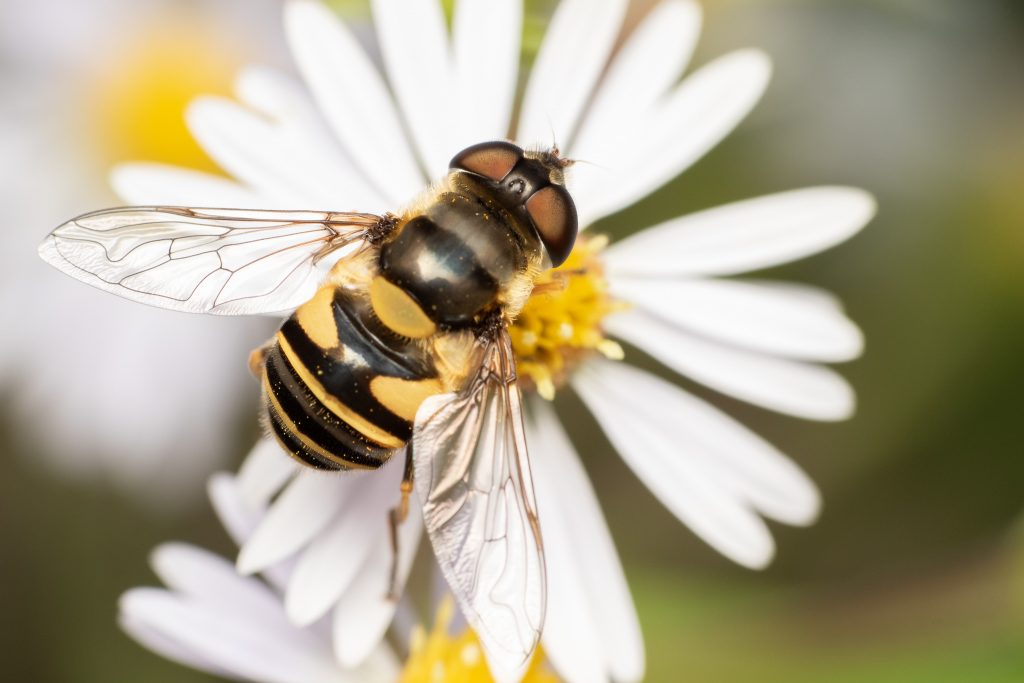 flower fly, hover fly