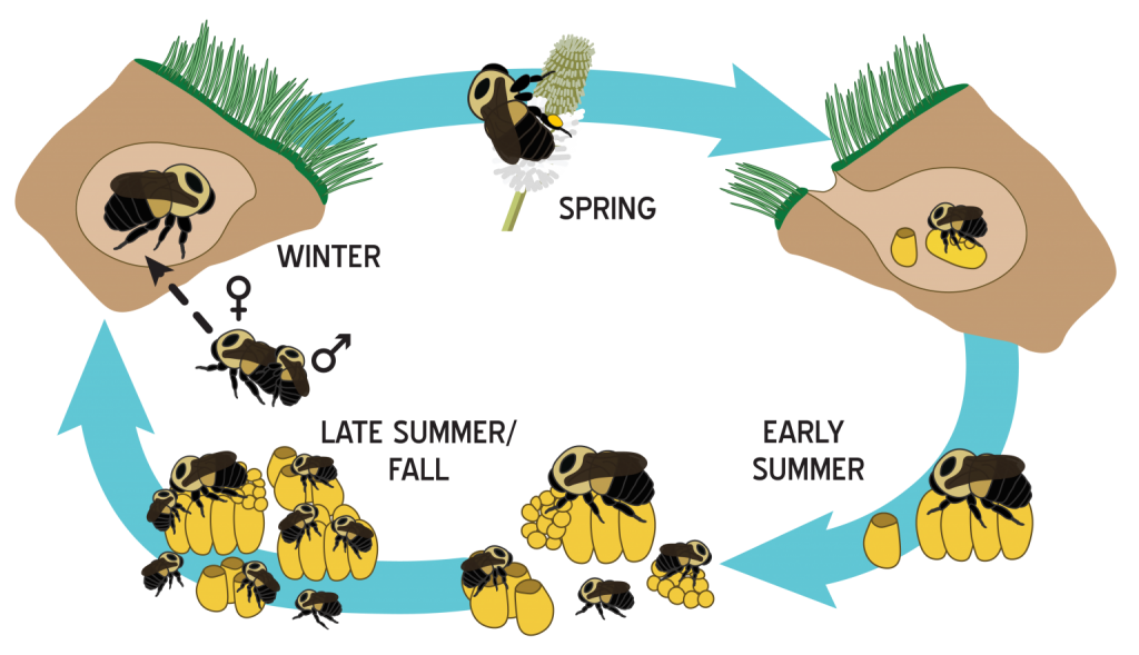 Bumble bee reproduction cycle