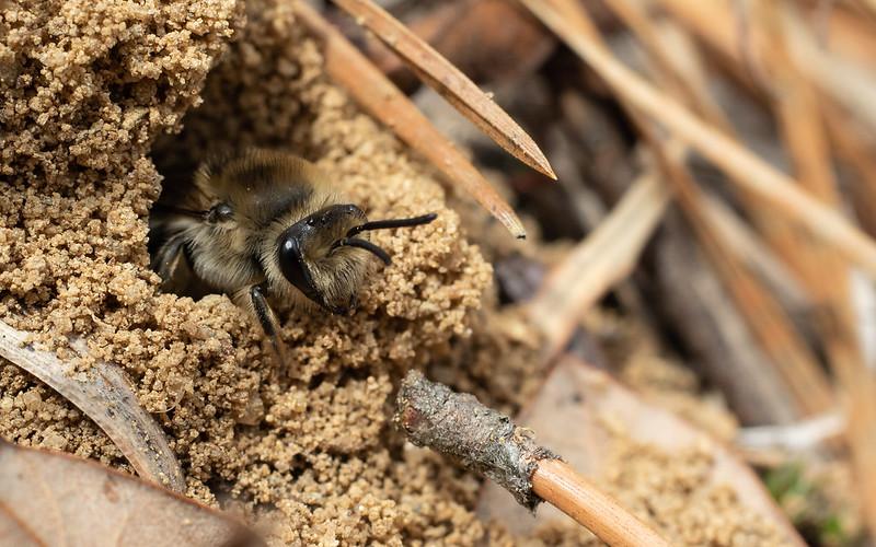 female cellophane bee in nest entrance