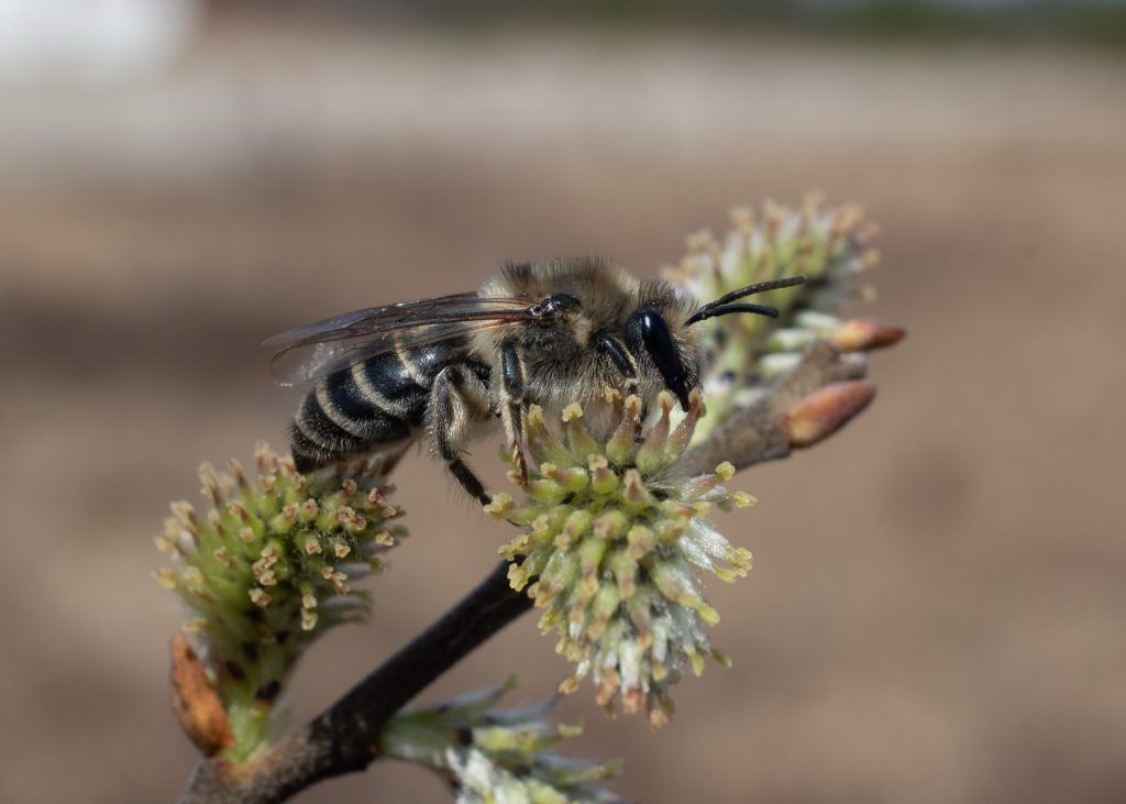 female cellophane bee (Colletes inaequalis) on prairie willow