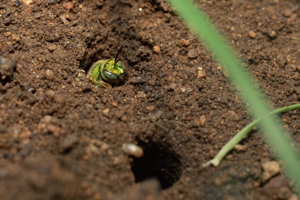 Agapostemon virescens live in underground communal nests.