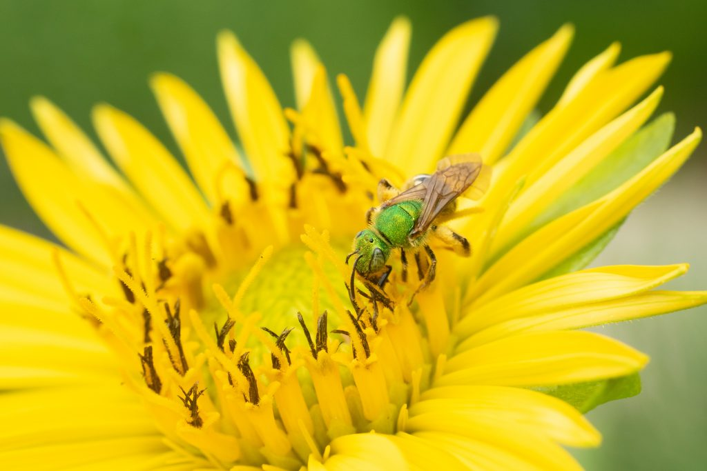 Agapostemon virescens loves asters like cup-plant.