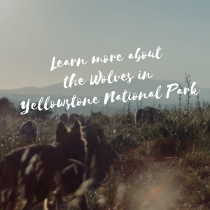 Learn more about the wolves in Yellowstone, background wolves in grass