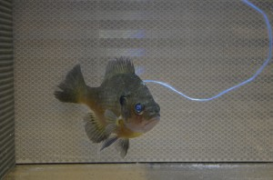 Bluegill facing