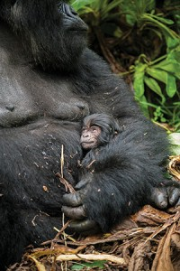 A four-day-old mountain gorilla with its mother. Makumba, a western lowland gorilla, snacks on fruit in the Dzanga-Sangha Complex of Protected Areas in  the Central African Republic. Photo: Chris Whittier