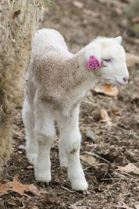 A young lamb gets some fresh air at the Cummings School of Veterinary Medicine farm. Photo: Matthew Healey